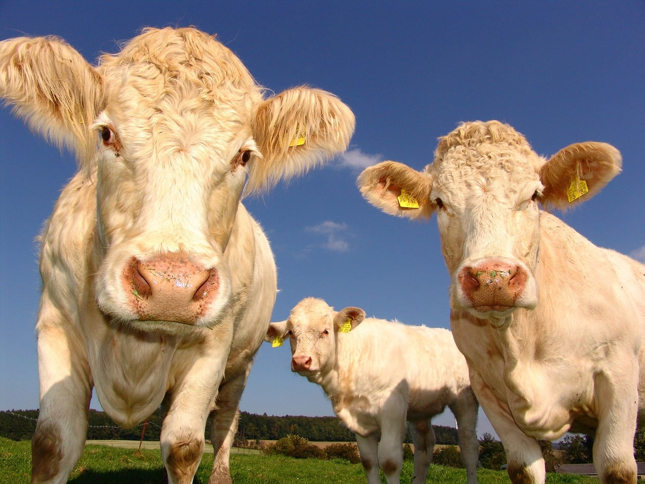Two headed mutant calf stuns farmers in Brazil [Video]