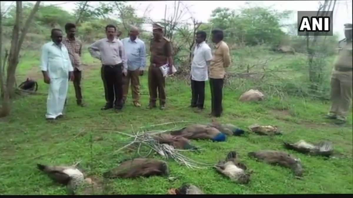 24 peacocks found dead in two districts of Telangana within the span of 10 days.