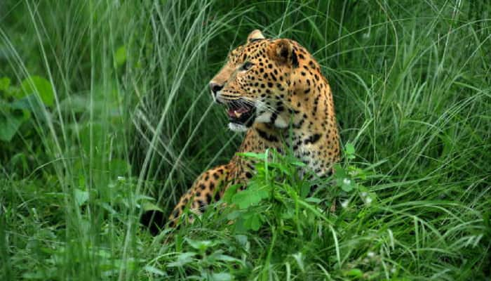 19 leopards died till Feb this year: Sharma