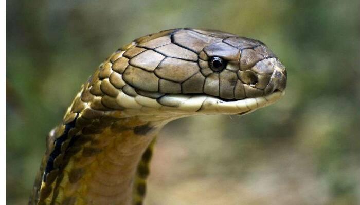 Snake gagan catches 50th king kobra in madikeri