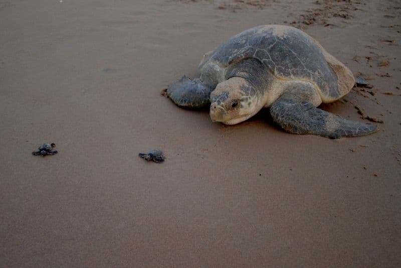 600 Olive Ridley turtles wash ashore: Are we failing the endangered?
