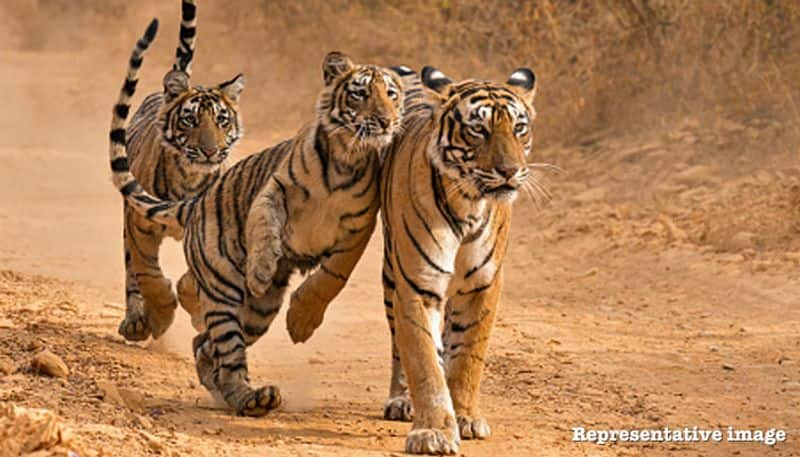 Number of tigers are increasing