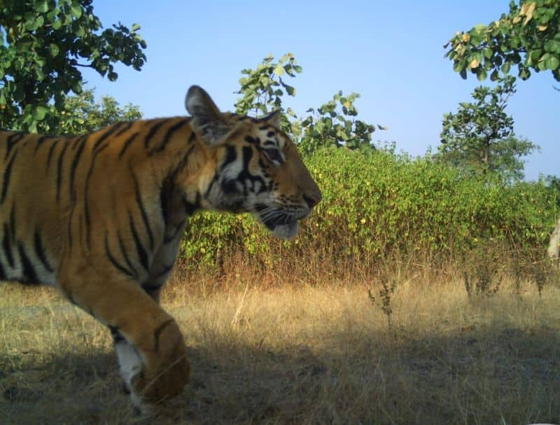 Tigress Avni's cubs spotted on camera trap, alive and healthy