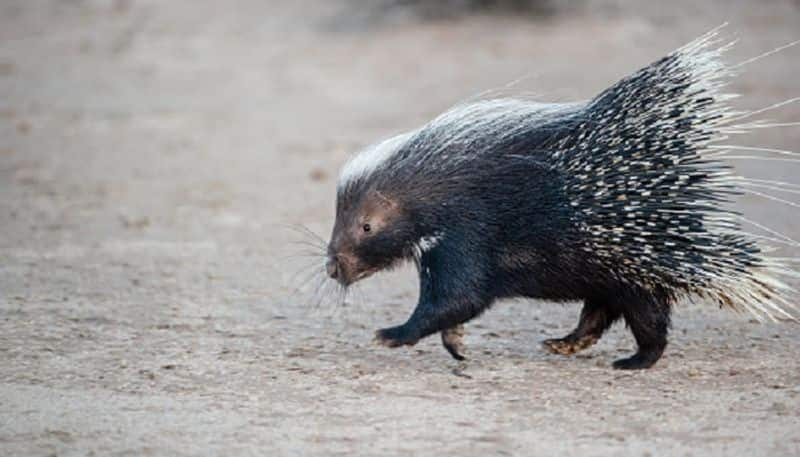 Kasargod man dies in tunnel while attempting to catch porcupine