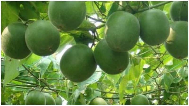 a new fruit found for diabetes melitus