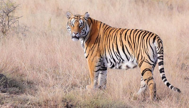 Tiger conservation More innovative ways needed, says minister Harsh Vardhan