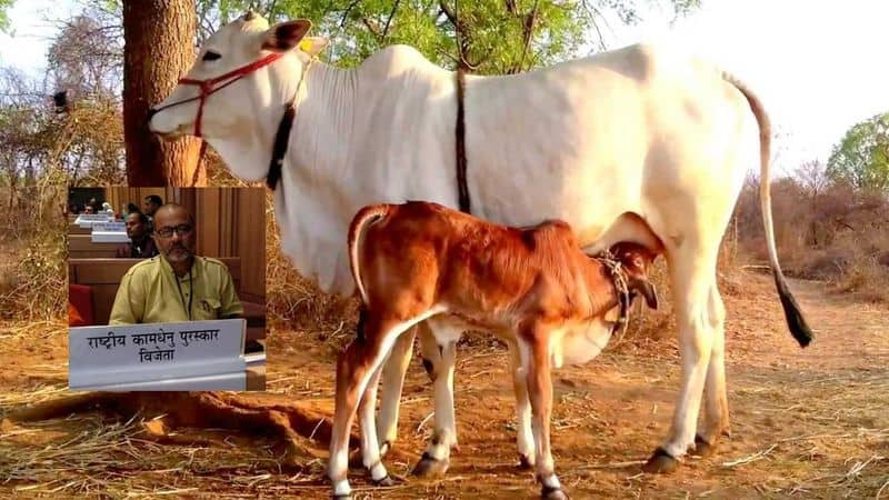 Cow husbandry is not compulsion it is necessity for healthy life