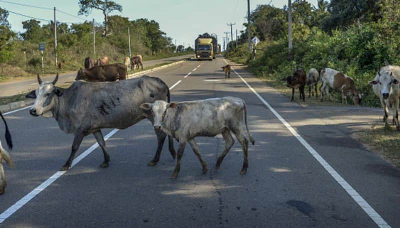 BSF apprehends two cattle smugglers with six cattle along India Bangladesh border