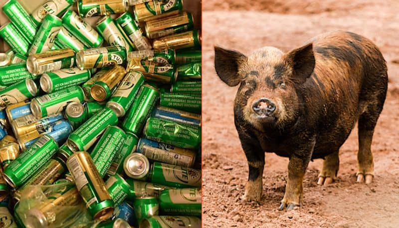 Pig steals beer cans; gets drunk, fights with cow (Video)