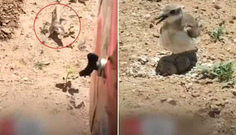 Video: Brave lil mom bird stops moving tractor to protect eggs