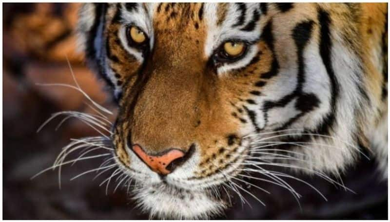 Tiger state of India Madhya Pradesh hopeful wild cat numbers have doubled
