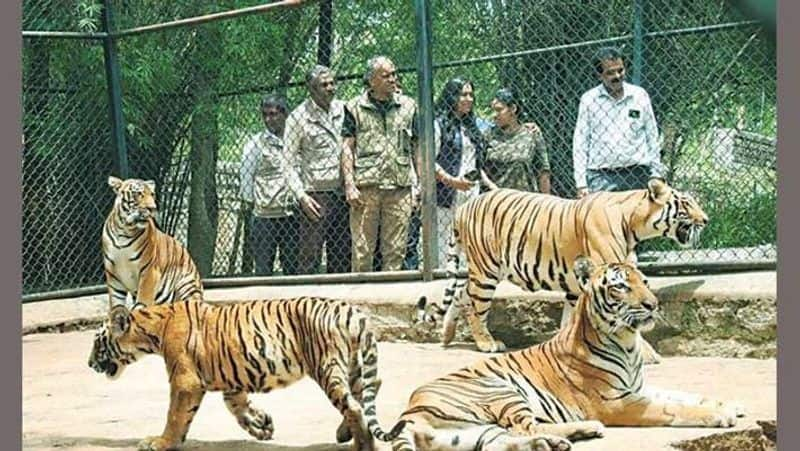 International Tiger Day: Cub named after Hima Das at Bengaluru's Bannerghatta Biological Park