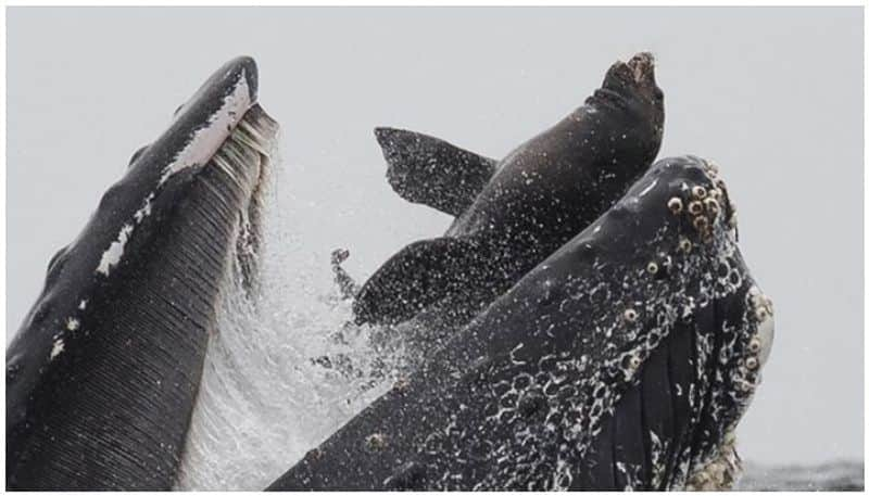 Rare photo shows sea lion trapped in mouth of whale