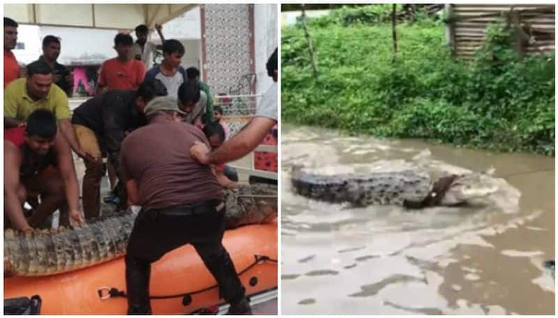 Vadodara rains: 35 crocodiles rescued since July 31 downpour