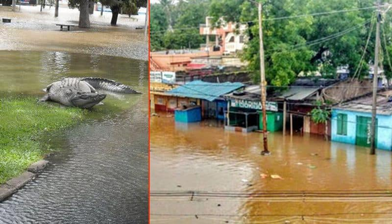 Crocodiles in floodwaters: Trying to catch deadly creatures might leave you handicapped; heres what you need to do