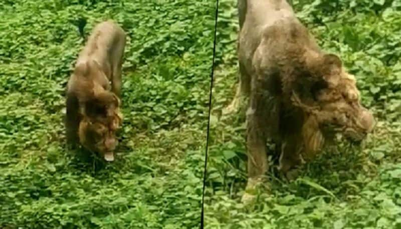 Viral Video: Lion eats grass in Gujarat's Gir forest; see what happens next