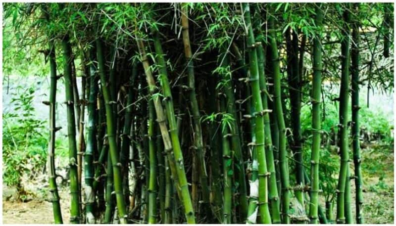 Dry Bamboo Use For compost