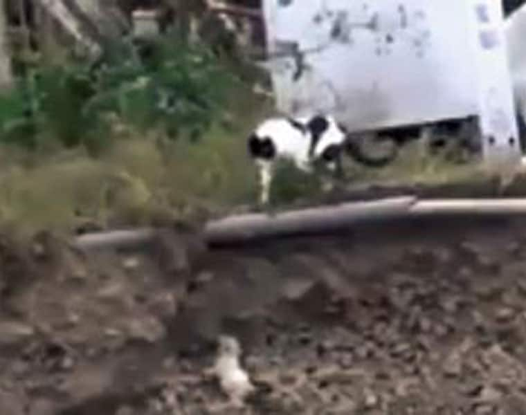 see how this puppy which has fallen in a ditch saved by a cat
