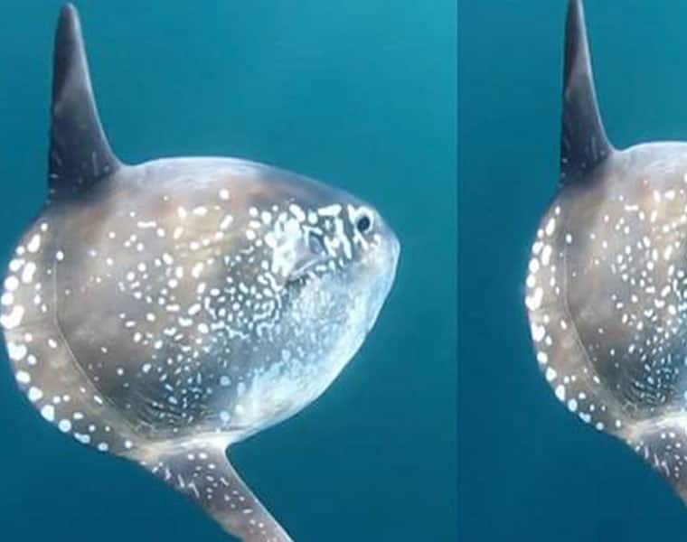 New species of sunfish discovered in New Zealand