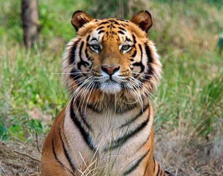 Tigress Avni killing: Shooter Asghar violates three laws, says NTCA reports