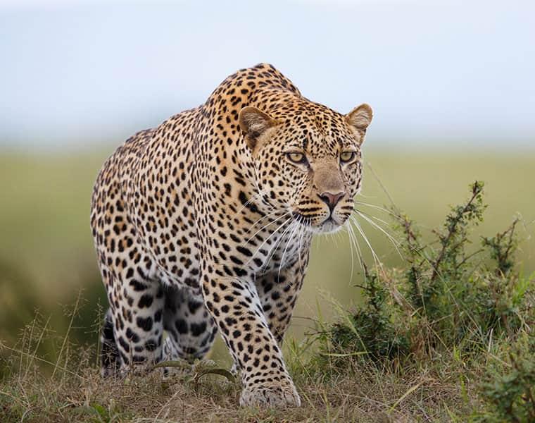 Avni Uttarakhand man eater leopard Dhyanagan Maharashtra