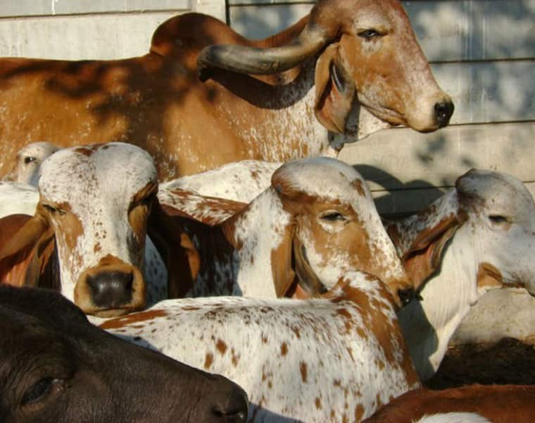 Truck loaded with cows seized by police in Bhilwara