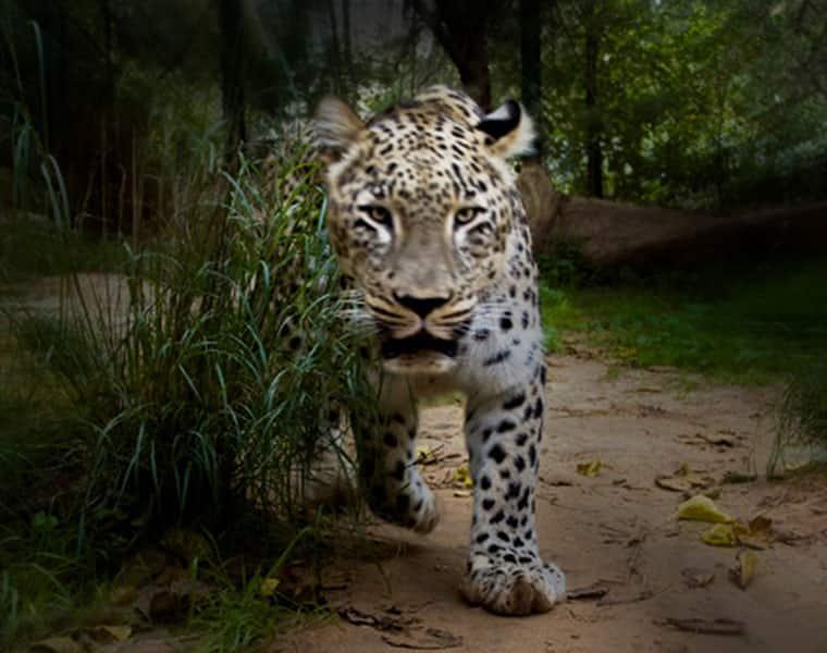 Gujarat Elderly woman third victim leopard attack Dahod