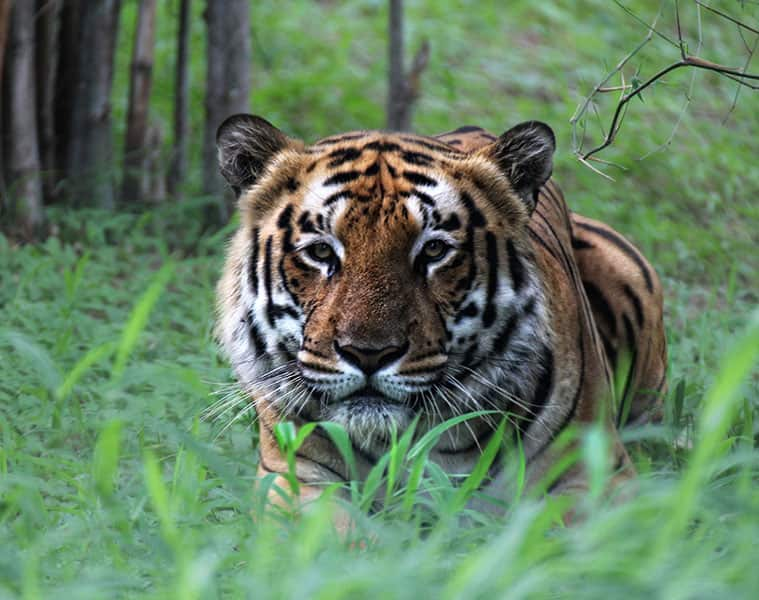 Tigress Avni, Believed To Be Behind 13 Deaths, Killed In Maharashtra