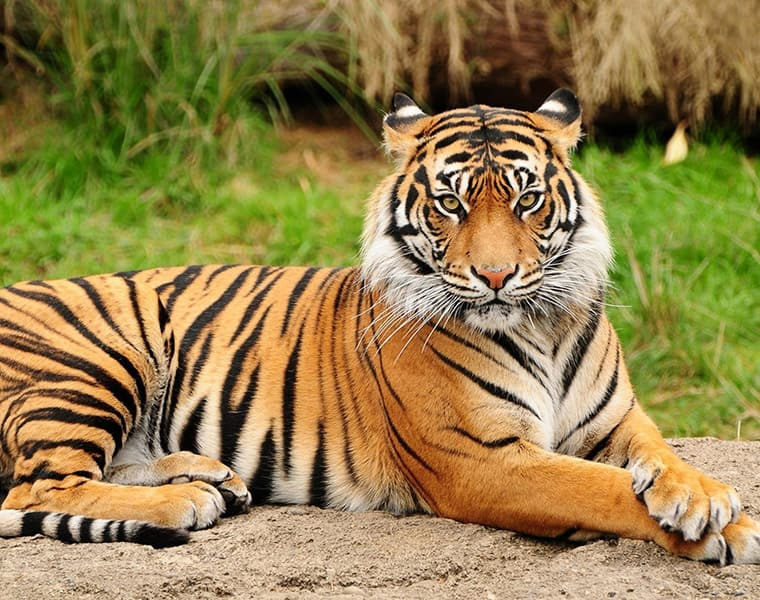 Tigress Avni's cubs are still missing They might die of starvation