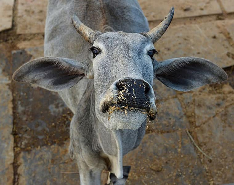 Kolkata NGO organises selfie-with-cow contest, winner will be awarded cow products