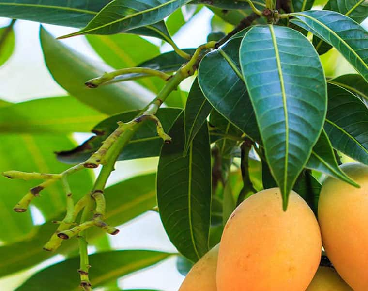 Know about how to use Mango leaves to help control blood sugar levels DD