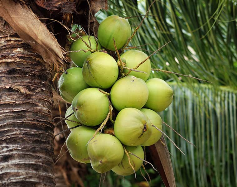 Hot tender coconut can cure Cancer viral check