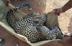 The leopard was found dead next to a road in Sirsi, Karnataka