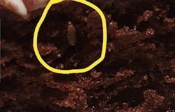 IKEA chocolate fly
