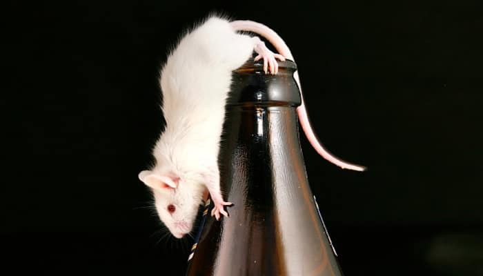 in bihar beer cans found empty, police blaming rats