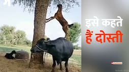 Friendship of buffalo and goat