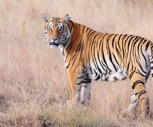 India losing war to save tigers as poachers hunt down 429 beasts in 10 years