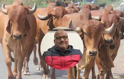 cow and sanjay