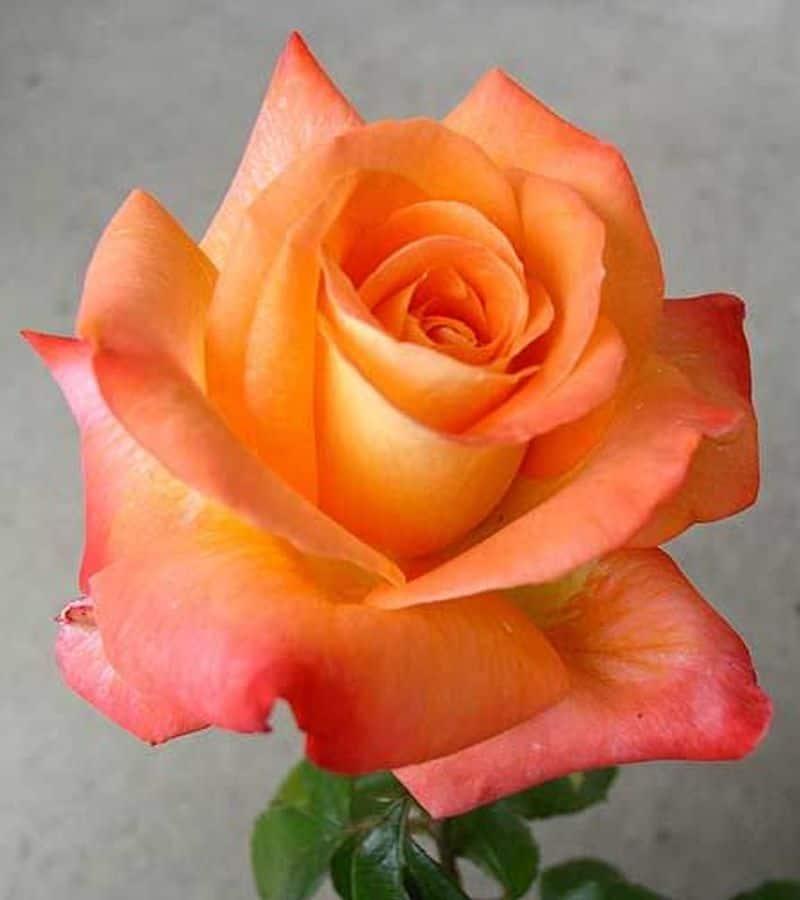 Peach Roses: Modesty