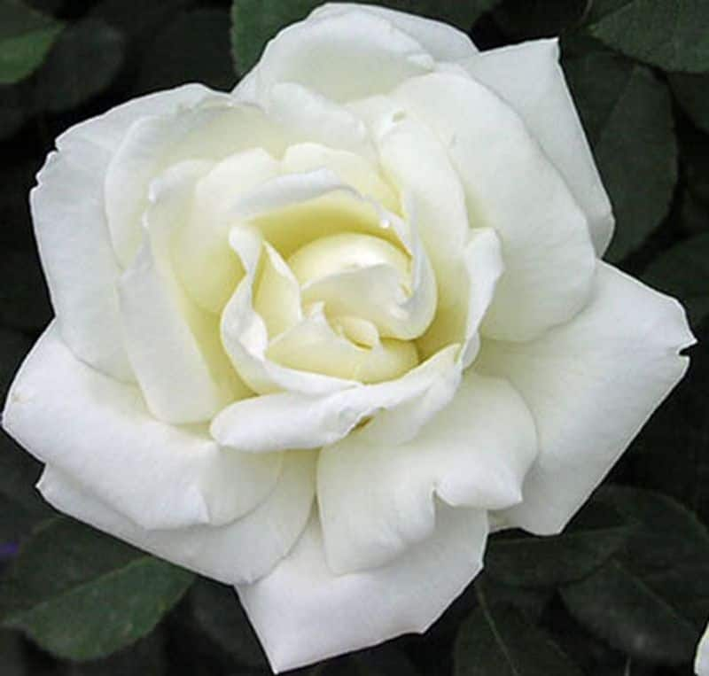 White Roses: A heart unacquainted with love