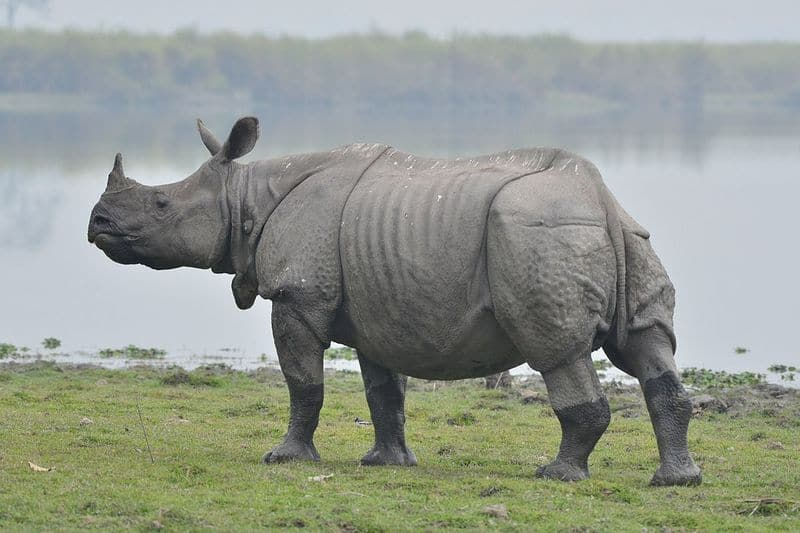 ASSAM: Indian Rhinoceros represent Assam and have interesting features such as keratin horn and lack of hair. These make them susceptible to poachers and are listed as 'Vulnerable' in IUCN.