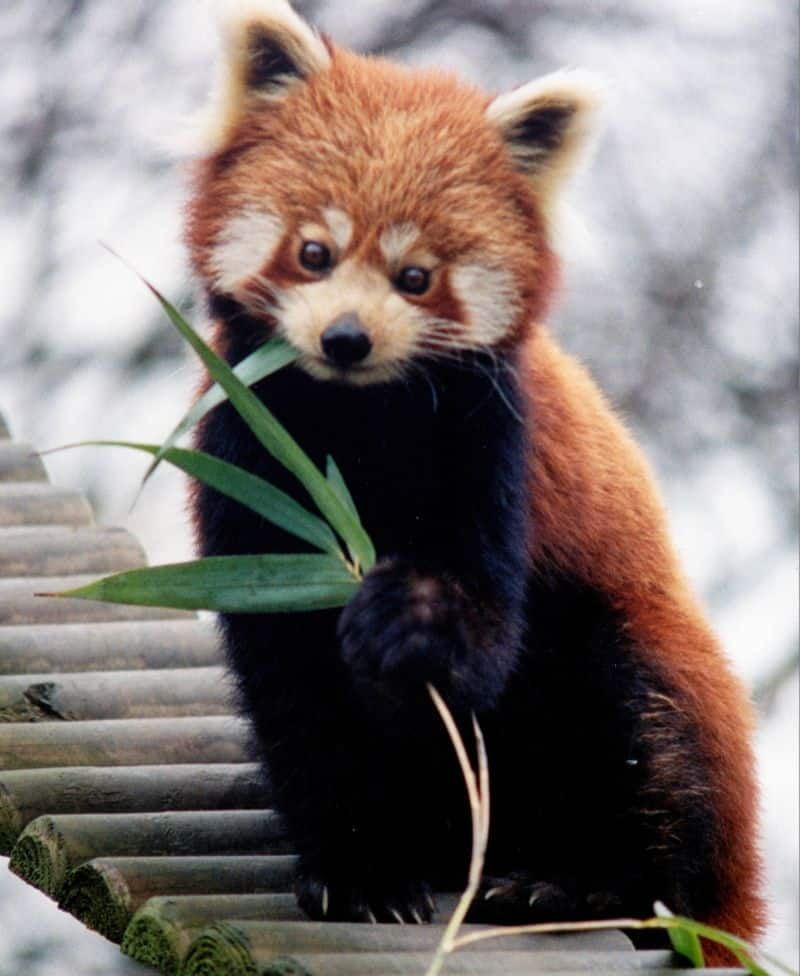 SIKKIM: The beautiful Red Panda, classified as 'Endangered' in IUCN list, are very similar to the Giant Panda and spend most of the day resting to conserve their energy since their bamboo diet has a low energy content.