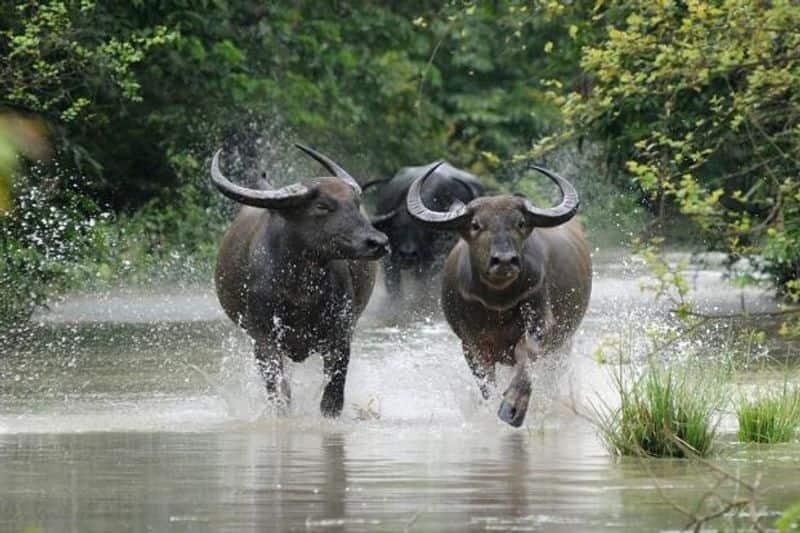 CHHATTISGARH: Wild Water Buffalo, are known for their gorgeous scimitar shaped horns and can be often seen wallowing in muddy waters.
