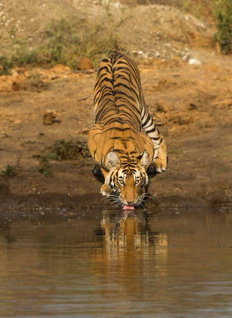 Bandipur National Park established in 1974 as a tiger reserve under Project Tiger, is a national park located in the south Indian state of Karnataka, which is the state with the highest tiger population in India.