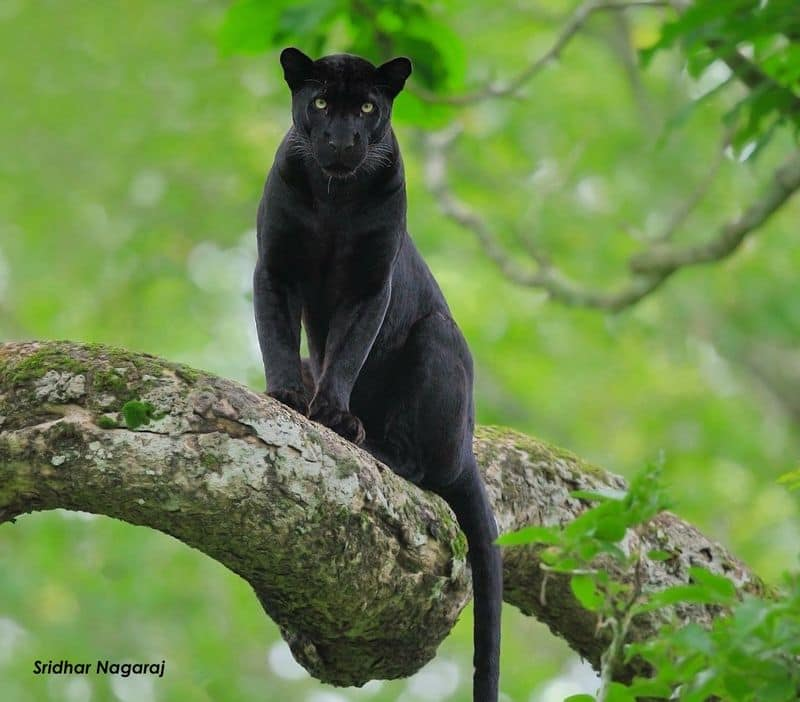 """A place that never disappoints is """"Pench National Park - jungle that became a book"""". The Kabini, also called Kapila, is one of the major tributaries of the river Cauvery in southern India."""
