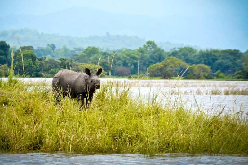 Kaziranga National Park, Assam: The national park is most famous for being home to the Indian Rhinos. But, did you know that it also houses two of the largest snakes in the world, the reticulated python and rock python, as well as the longest venomous snake in the world, the king cobra?