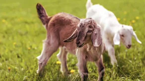 Baby goat born with human-like face being worshiped as 'avatar of God'lns