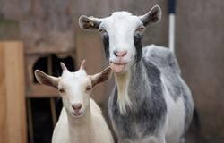 Stray dogs kill goats NEWSABLE