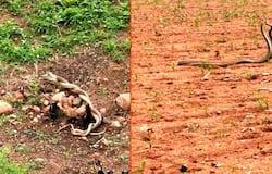Koppal snake mating