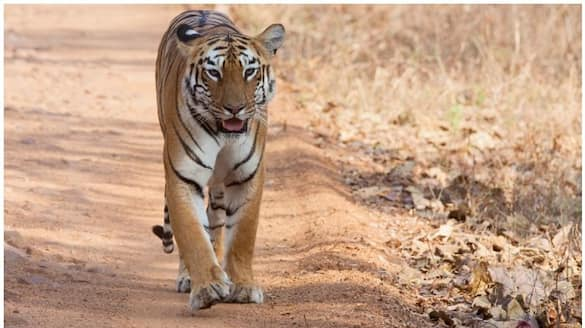 Plantation area and dairy farmers in Idukki fearing tiger attack